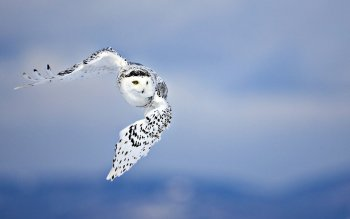 Animalia - Snow Owl Wallpapers and Backgrounds ID : 432470