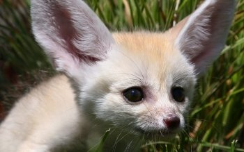 Animalia - Fennec Fox Wallpapers and Backgrounds ID : 432474