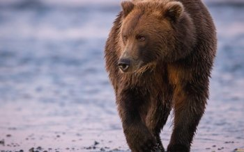 Animal - Bear Wallpapers and Backgrounds ID : 432488