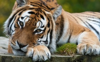Animal - Tiger Wallpapers and Backgrounds ID : 432627
