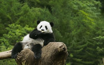 Animal - Panda Wallpapers and Backgrounds ID : 432968