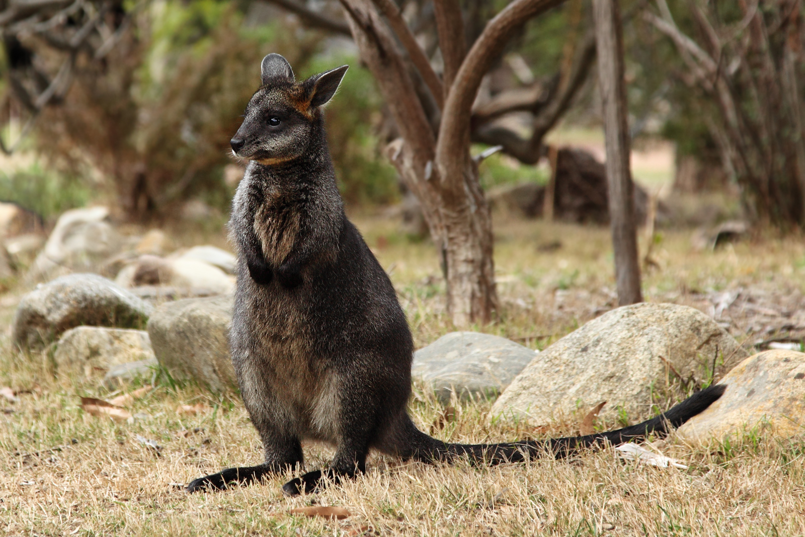 Interesting Kangaroo Facts  outbackaustraliatravel