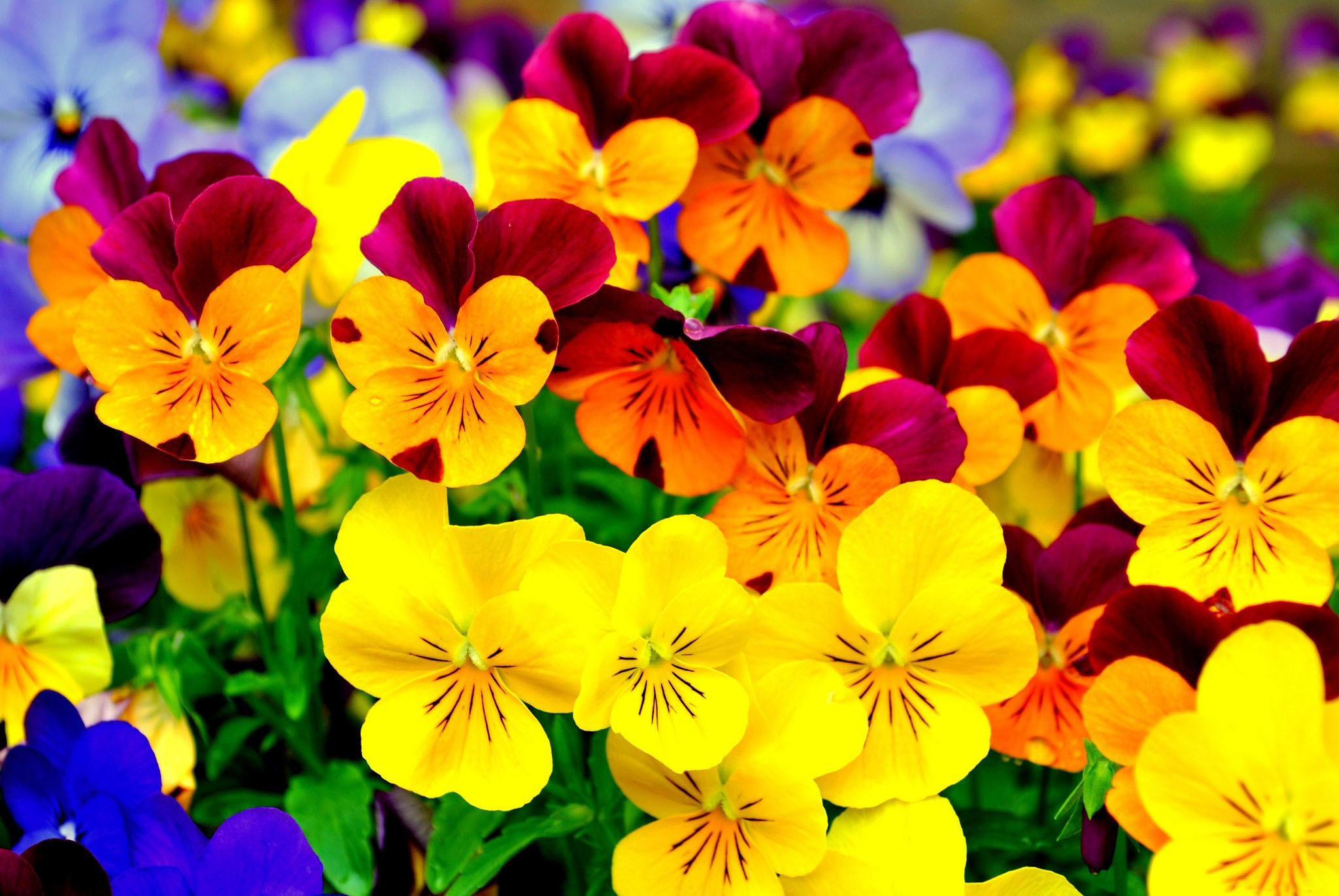 80 Pansy HD Wallpapers | Backgrounds - Wallpaper Abyss