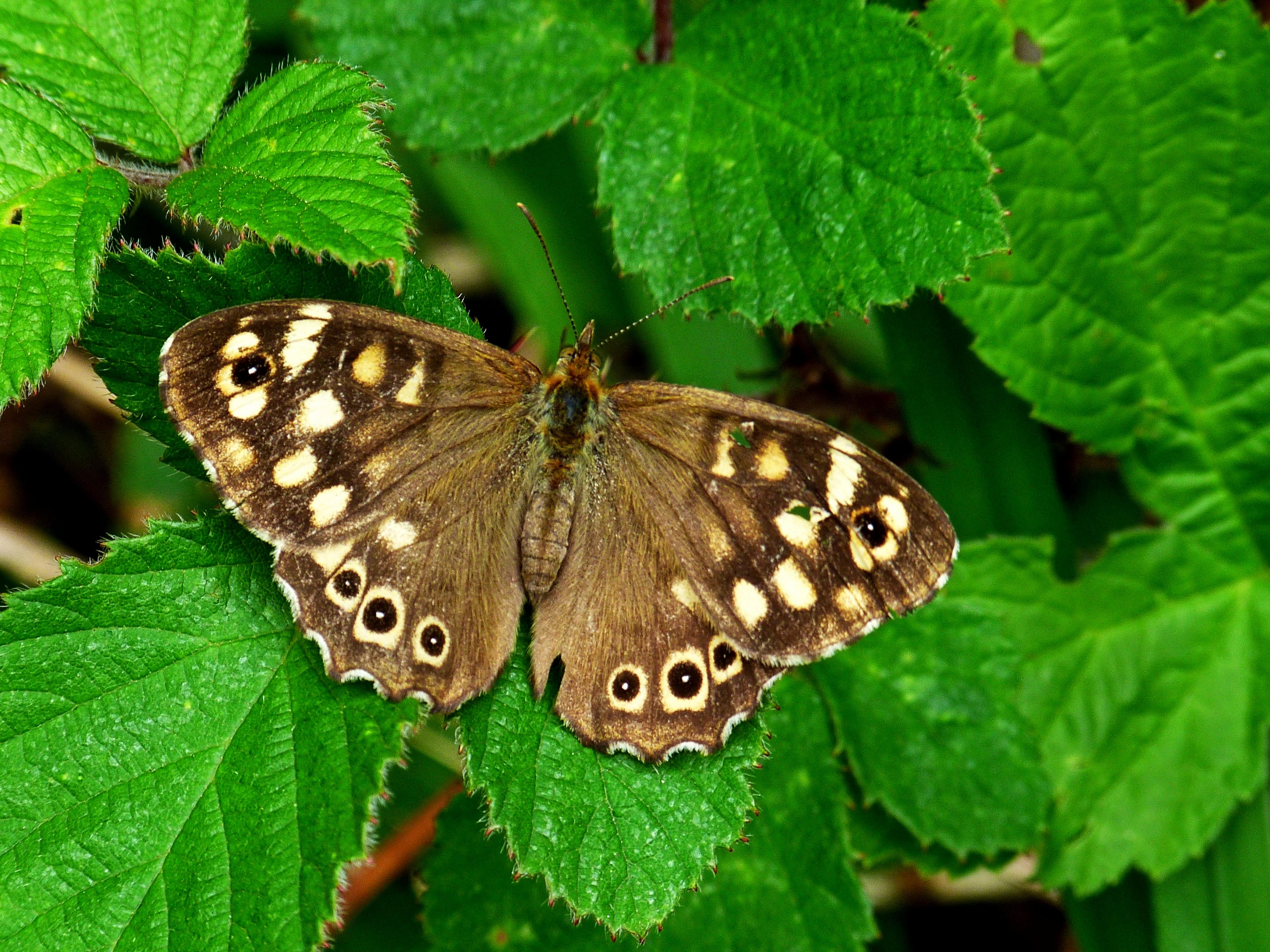 Butterfly 4k Ultra HD Wallpaper | Background Image ...