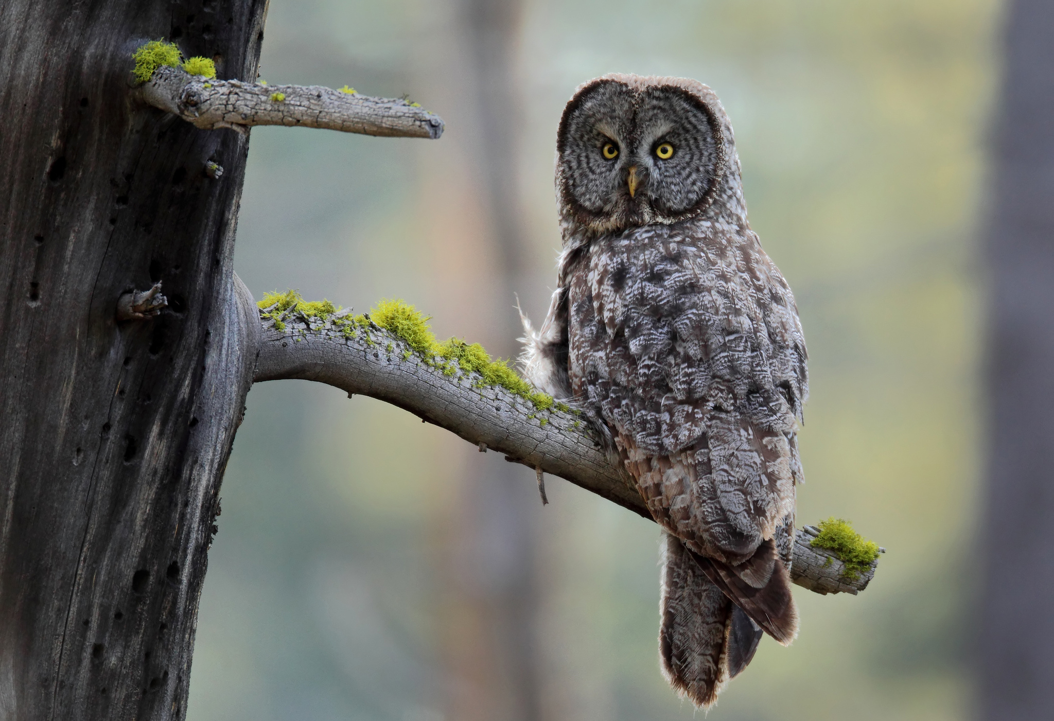 Great Grey Owl Computer Wallpapers, Desktop Backgrounds ...