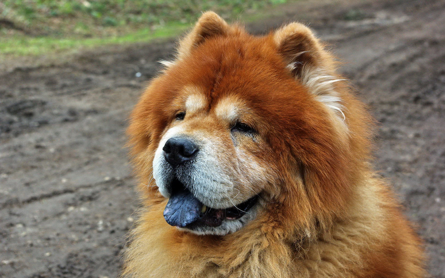 9 Chow Chow HD Wallpapers | Background Images - Wallpaper ...