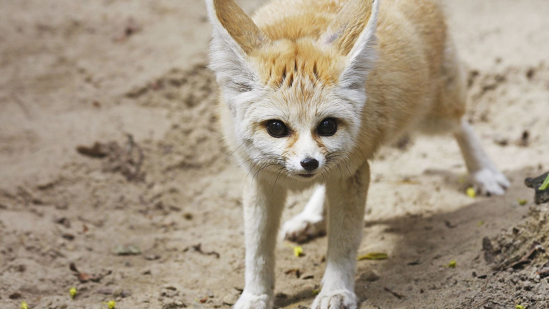 Fennec Fox Full Hd Wallpaper And Background Image