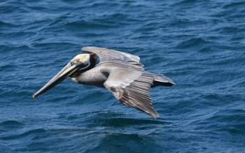 Animal - Pelican Wallpapers and Backgrounds ID : 433512