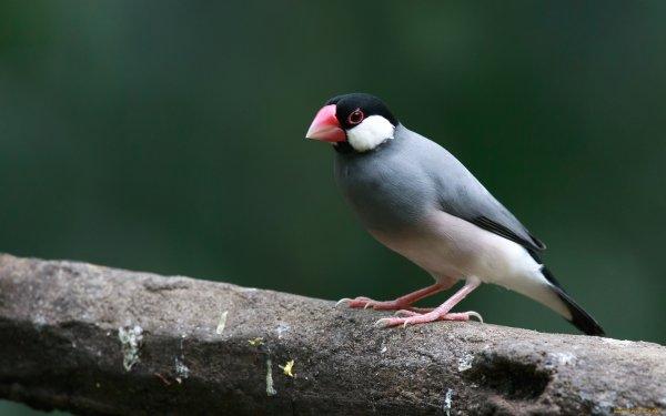 Animal Bird Birds Java Sparrow HD Wallpaper | Background Image