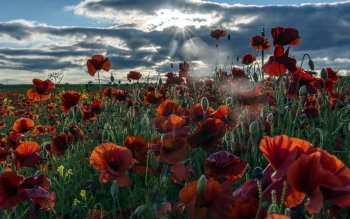 Earth - Poppy Wallpapers and Backgrounds ID : 435953