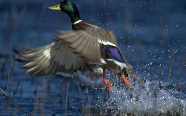 Animal Mallard Birds Ducks HD Wallpaper   Background Image