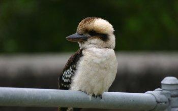Animal - Kookaburra Wallpapers and Backgrounds ID : 437027