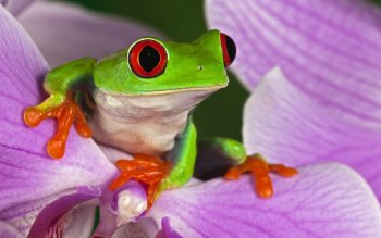 Animal - Red Eyed Tree Frog Wallpapers and Backgrounds ID : 437416