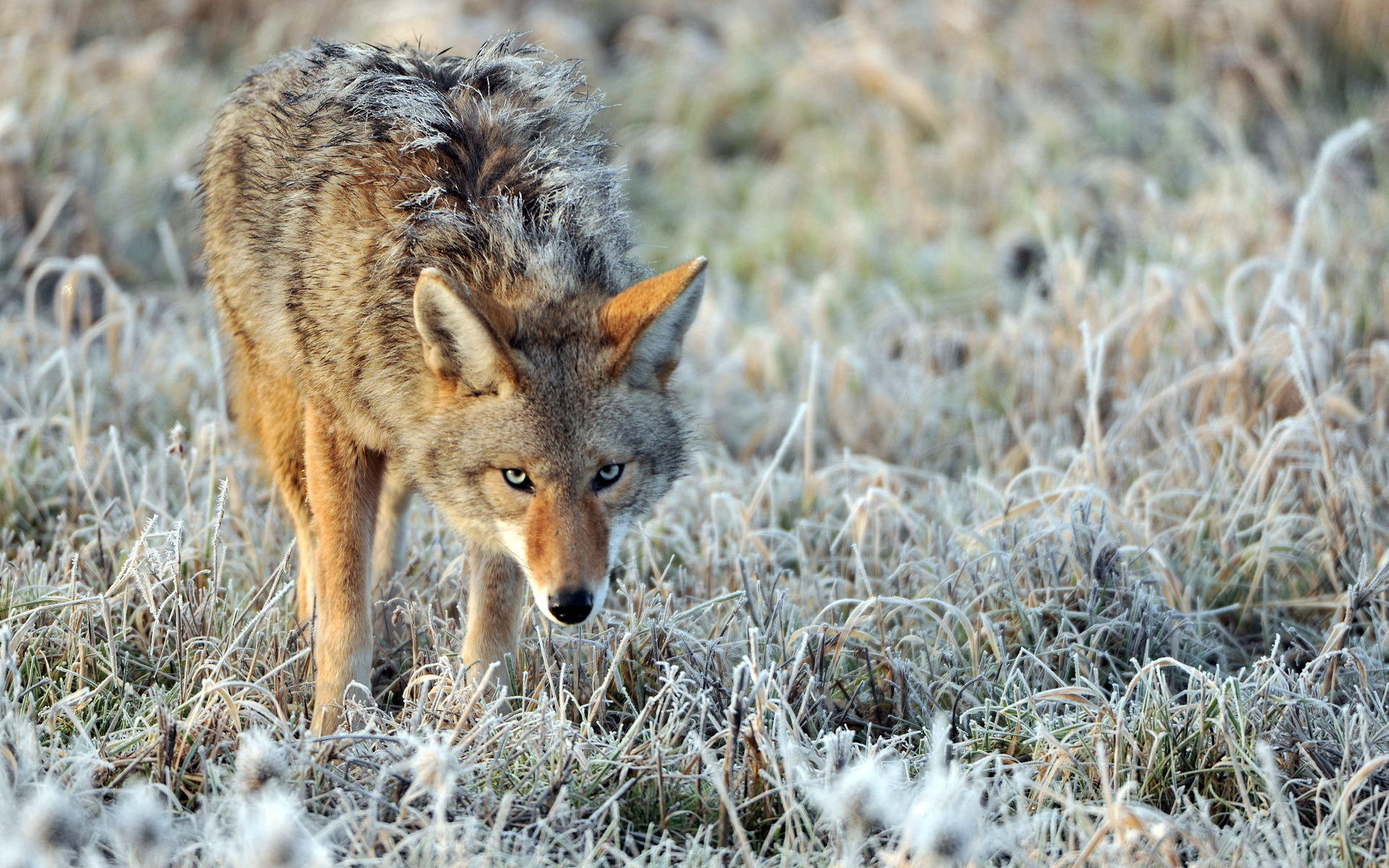 coyote full hd wallpaper and background image 1920x1200