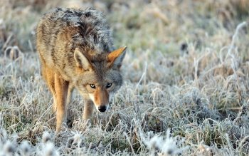 Animal - Coyote Wallpapers and Backgrounds ID : 438178