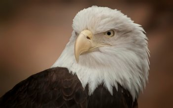 Animal - Eagle Wallpapers and Backgrounds ID : 438522