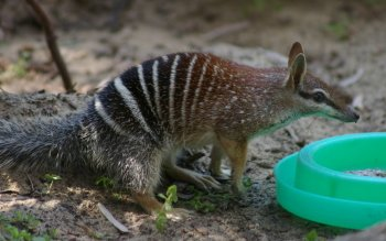 Dierenrijk - Numbat Wallpapers and Backgrounds ID : 439724