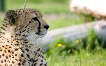Animal - Cheetah Wallpapers and Backgrounds ID : 439864