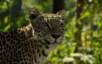 Animalia - Leopard Wallpapers and Backgrounds ID : 439884