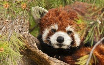 Animaux - Panda Roux Fonds d'écran et Arrière-plans ID : 439959