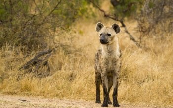 Animal - Hyena Wallpapers and Backgrounds ID : 439964