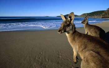 Animal - Wallaby Wallpapers and Backgrounds ID : 440379