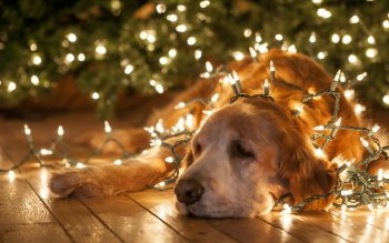 Animal - Golden Retriever  Wallpapers and Backgrounds ID : 441904