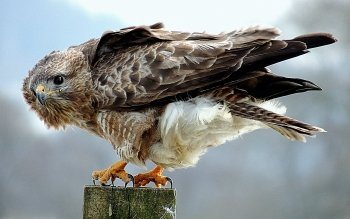 Animal - Hawk Wallpapers and Backgrounds ID : 443220
