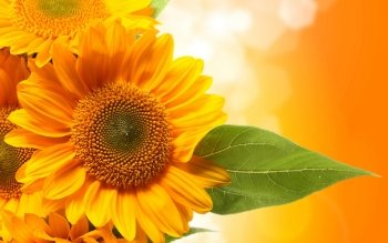 Earth - Sunflower Wallpapers and Backgrounds ID : 443283