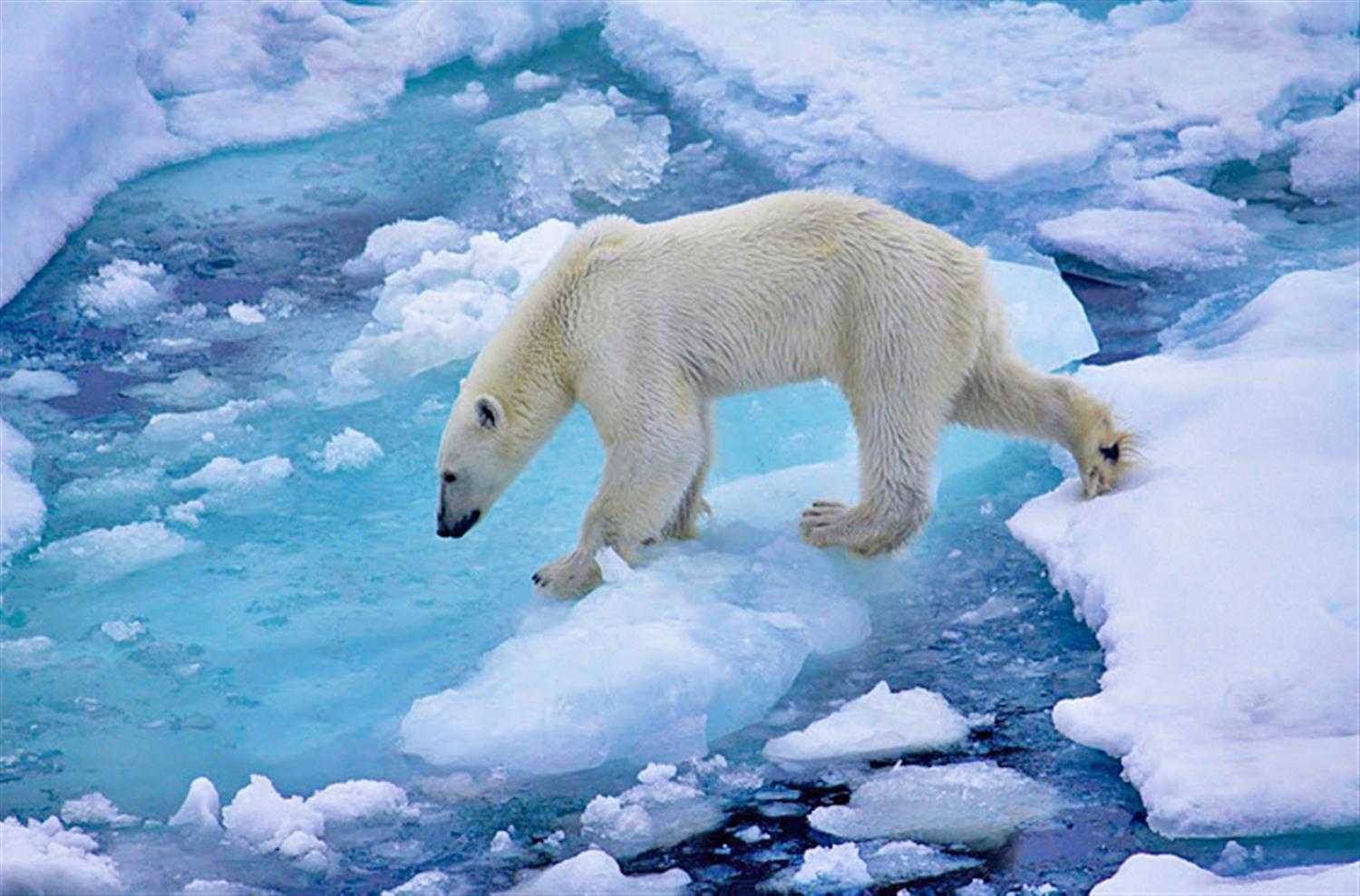 Polar Bear Wallpaper and Background Image   1500x989   ID ...