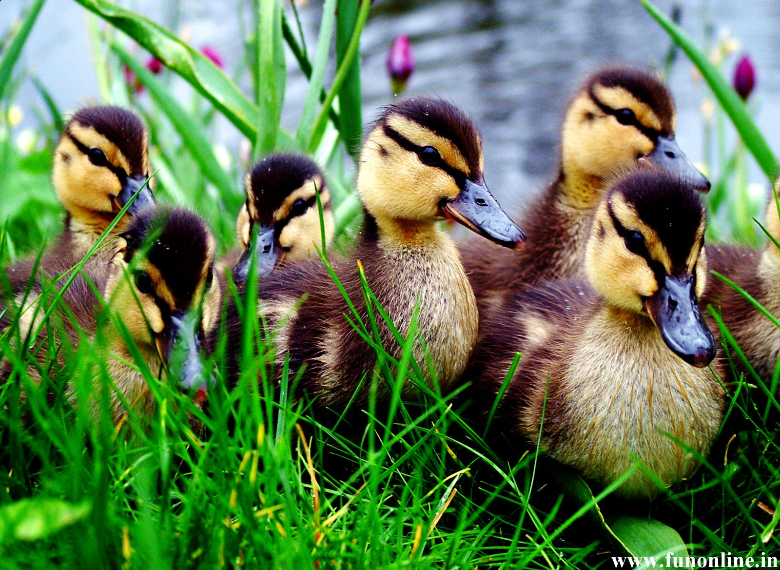 Animal - Duck  Duckling Wildlife Wallpaper