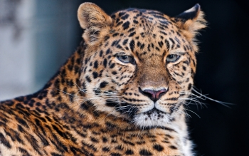 Animalia - Leopard Wallpapers and Backgrounds ID : 444372
