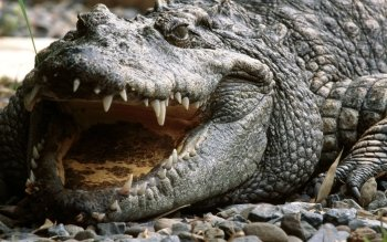 Animal - Crocodile Wallpapers and Backgrounds ID : 446653