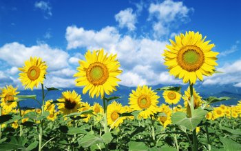 Earth - Sunflower Wallpapers and Backgrounds ID : 446886