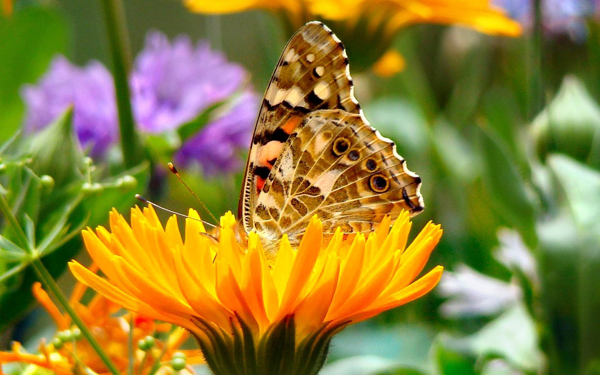 Animal - Butterfly  Pastel Yellow Flower Colorful Spring Wallpaper