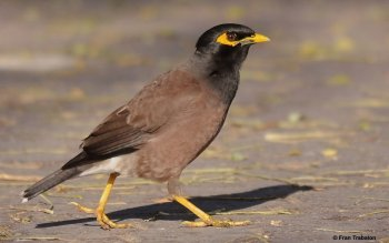 Animal - Myna Wallpapers and Backgrounds ID : 447777