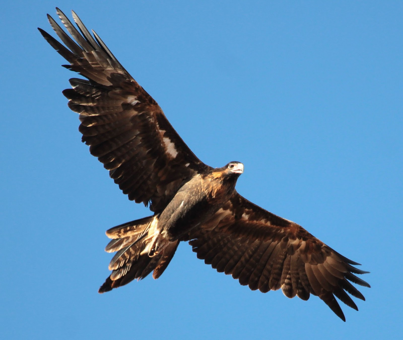 6 Wedge Tailed Eagle Hd Wallpapers Backgrounds