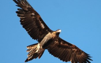 Animal - Wedge Tailed Eagle Wallpapers and Backgrounds ID : 448499