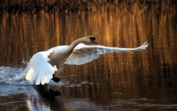 Animalia - Swan Wallpapers and Backgrounds ID : 449231