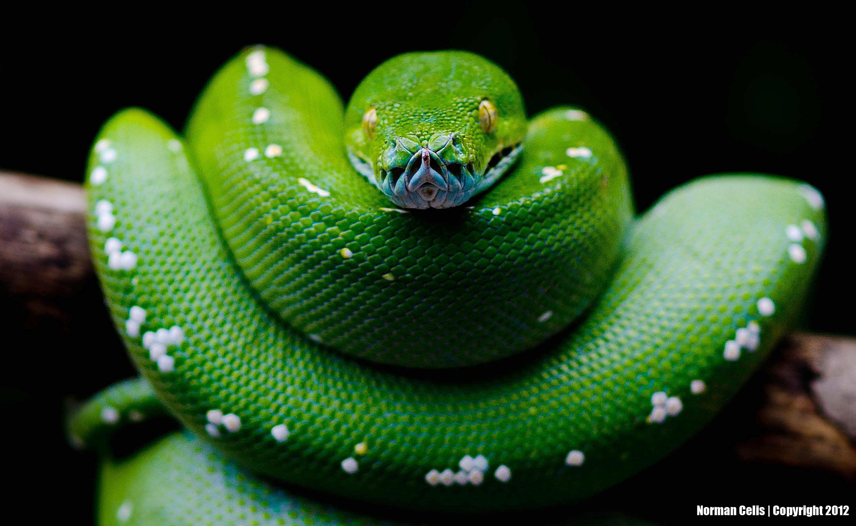 Green python hd wallpaper background image 2837x1746 - Green snake hd wallpaper ...