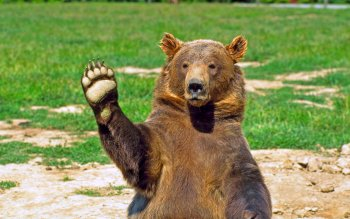 Animal - Bear Wallpapers and Backgrounds ID : 452071