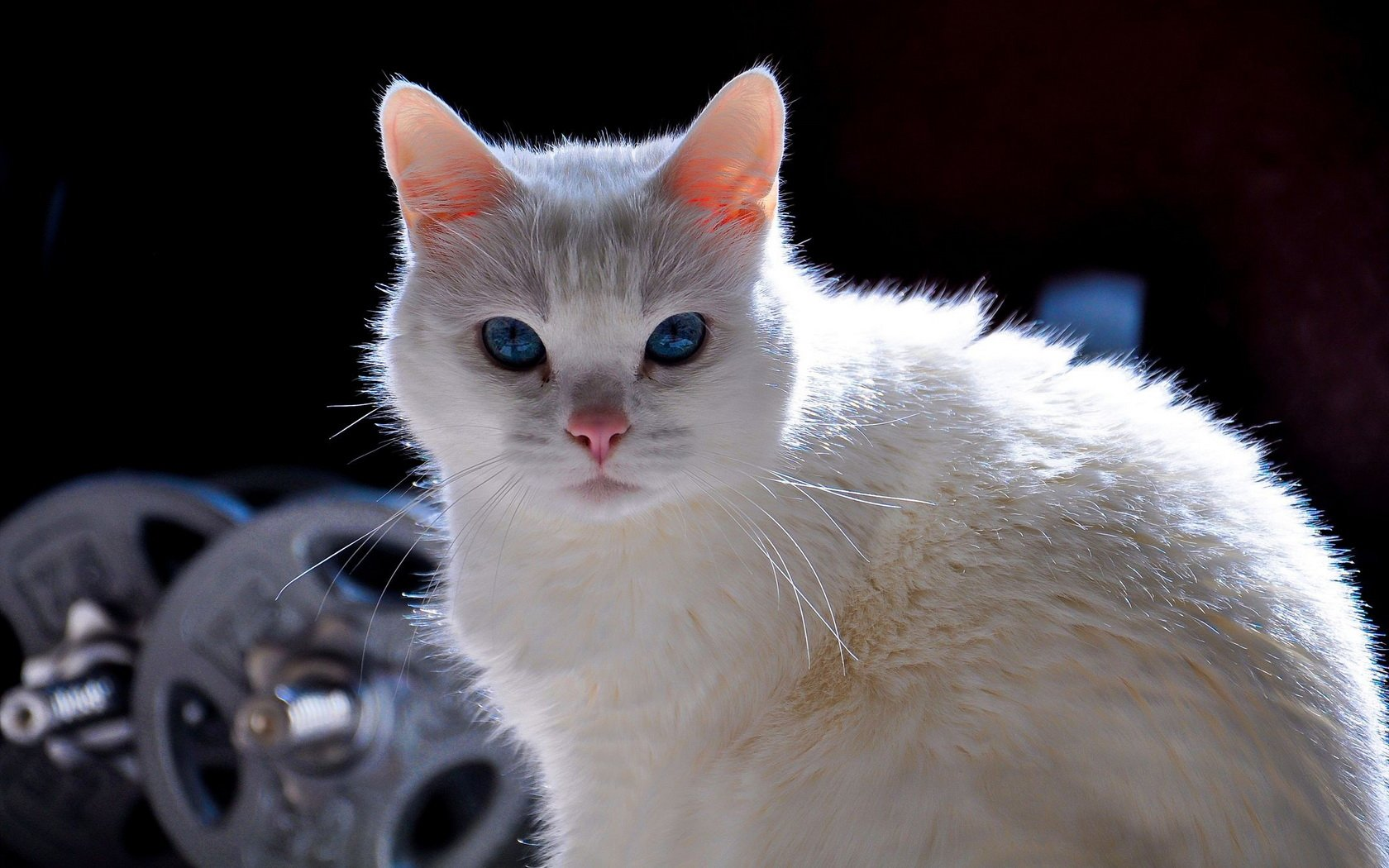 Beautiful White Cat Wallpaper And Background Image 1680x1050 Id