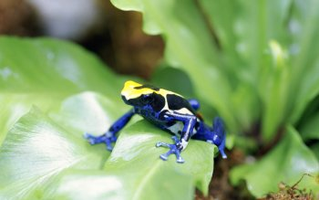 Animalia - Poison Dart Frog Wallpapers and Backgrounds ID : 454167