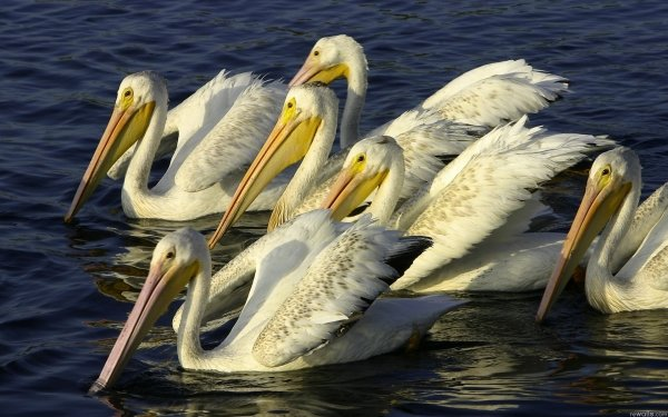 Animal Pelican Birds Pelicans Bird HD Wallpaper | Background Image