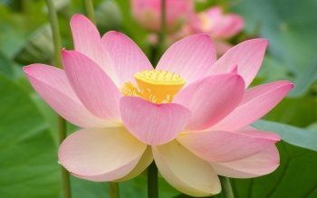 158 lotus hd wallpapers background images wallpaper abyss hd wallpaper background image id455678 mightylinksfo