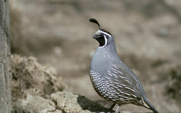 Animal Quail Birds Galliformes Bird HD Wallpaper | Background Image
