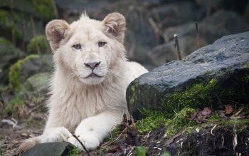 Animal - White Lion Wallpapers and Backgrounds ID : 456201