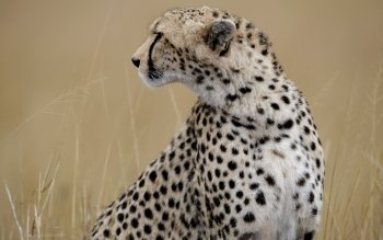 Djur - Cheetah Wallpapers and Backgrounds ID : 456689