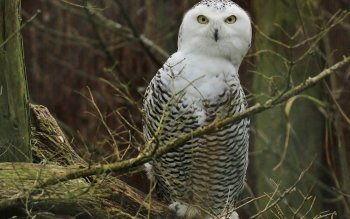 Dierenrijk - Snowy Owl Wallpapers and Backgrounds ID : 456730