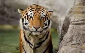 Animal - Tiger Wallpapers and Backgrounds ID : 456989